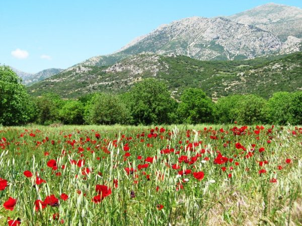 the-poppies-of-the-greek-country-side_700x700_q85